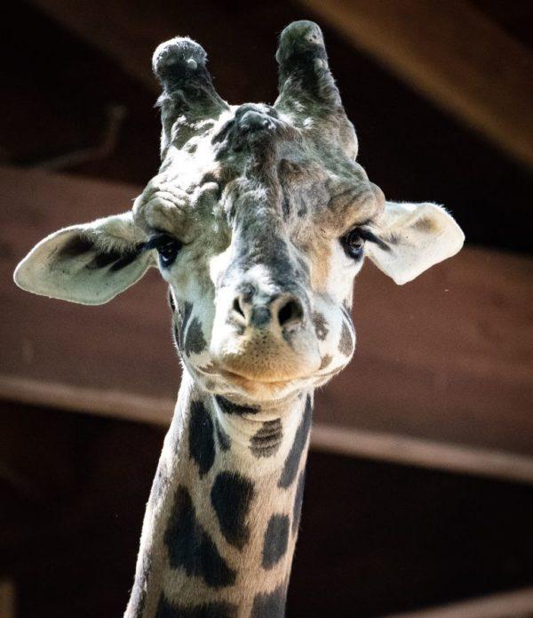 Judgmental Giraffe